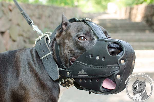 Amstaff leather muzzle with excellent air flow