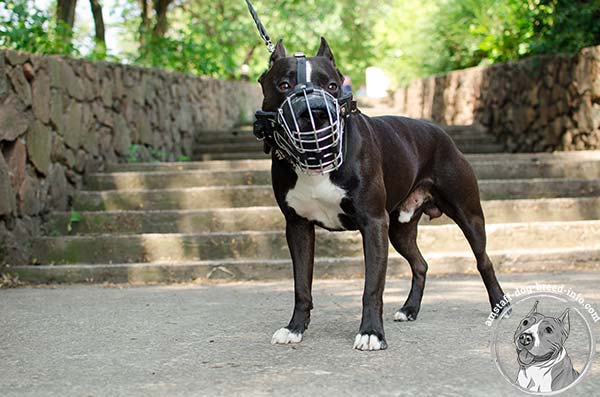 Free to bark and pant Amstaff wire cage muzzle