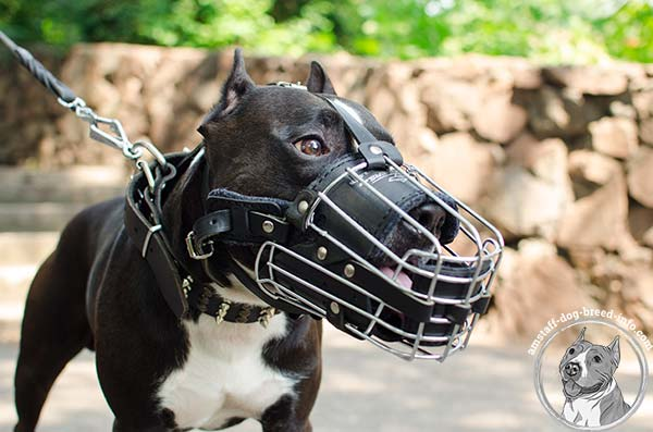 Amstaff wire basket muzzle with nose padding with nickel plated fittings for quality control